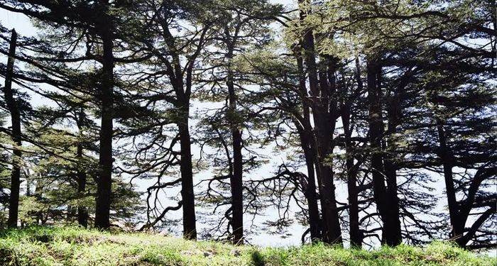 title: Traditional Lebanese Cedar Trees Newer Generation