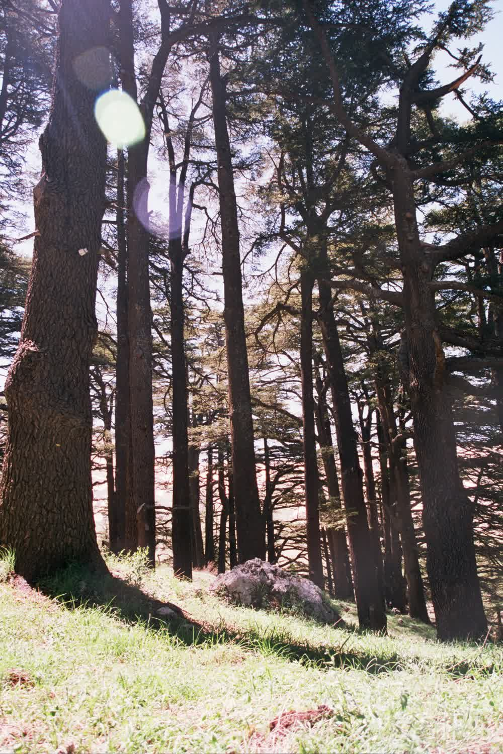 title: Trees in the Mountain Region Forests of Lebanon