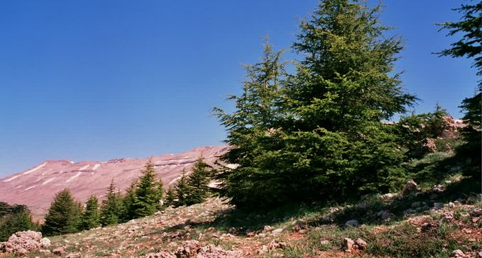 title: Trees on the Mountain by the Cedar Trees