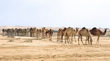 title: Huge Row of Bored Camels in the Sand