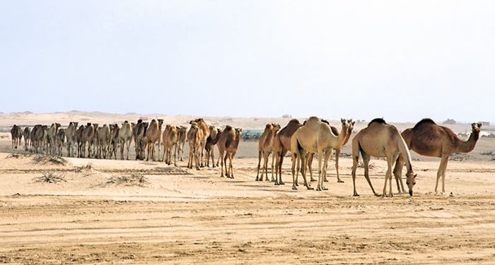 title: Camels in the Sand