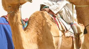 title: Local on a Huge Camel in the Desert