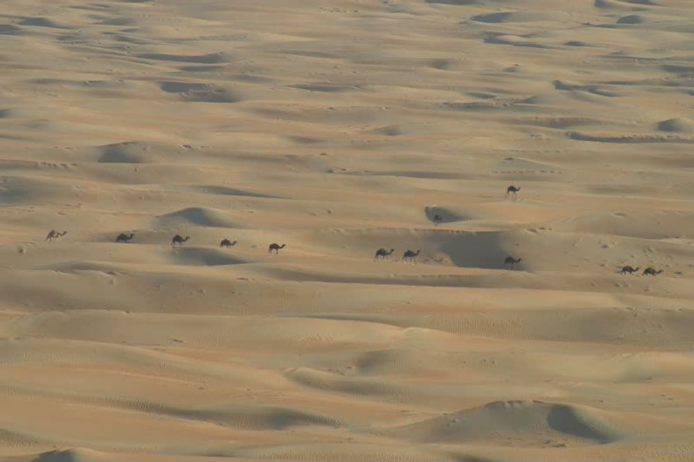title: Camels in the desert 1