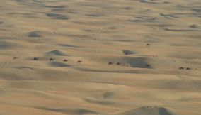 Camels in the desert 1
