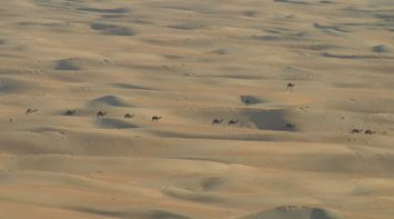 title: Many Camels Journeying through the Desert in the Sun