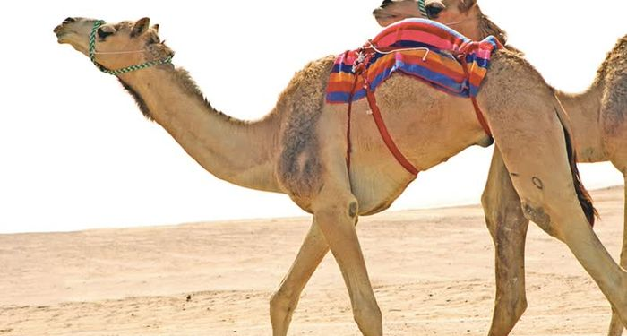 title: Skinny Anorexic Camels