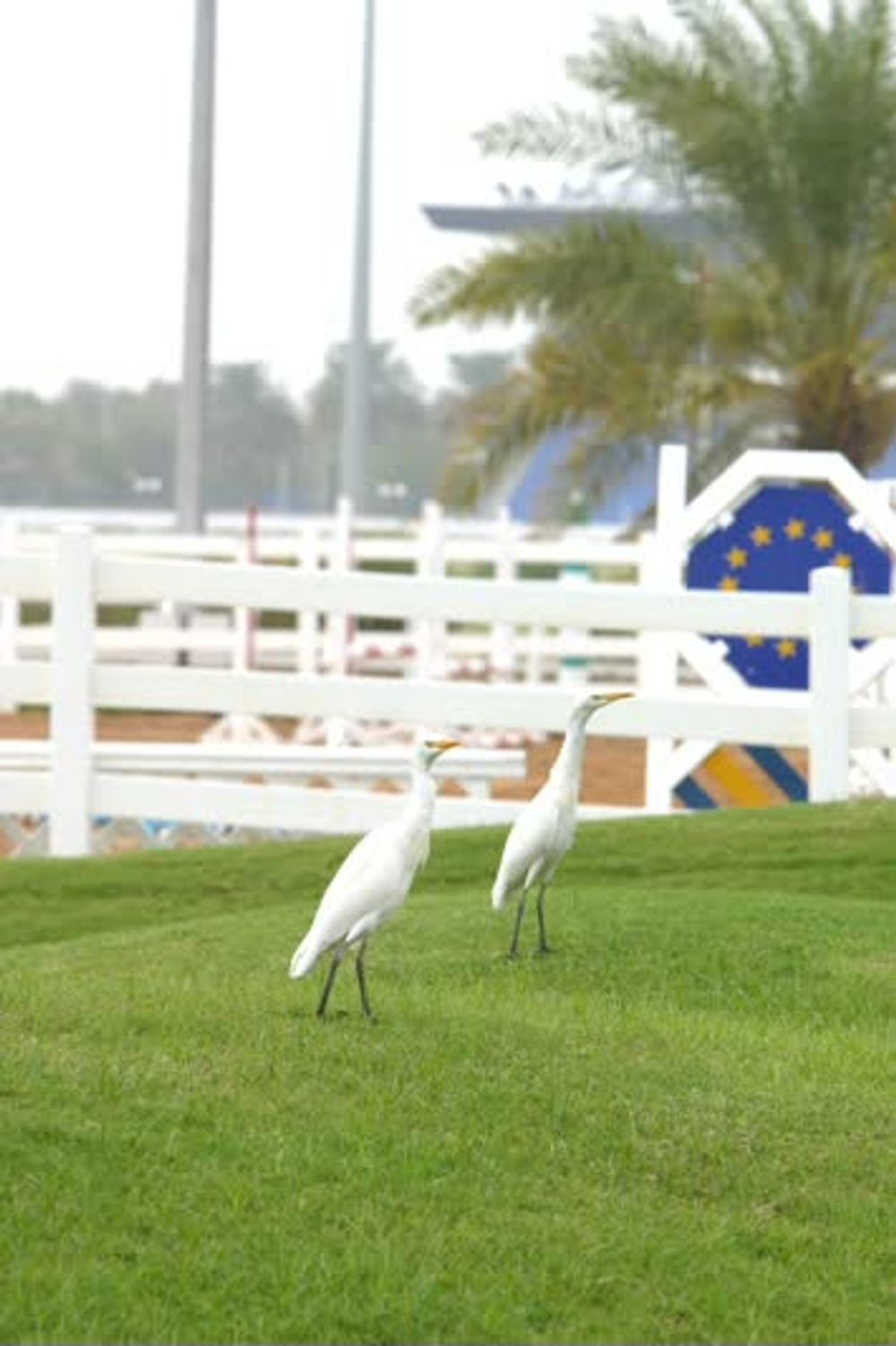 title: Two White Birds at the Emirates Heritage Club