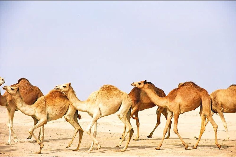 title: Group of Camel