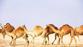 Group of Camel