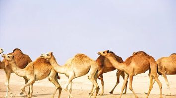 Discover Abu Dhabi Group of Camel