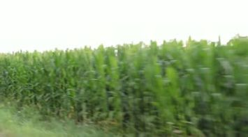 France typical bio corn field