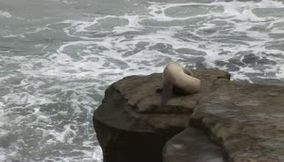 title: California San Diego La Jolla White Sea Lion
