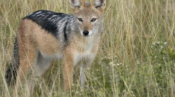 A cunning fox in Central Kalahari Game Reserve