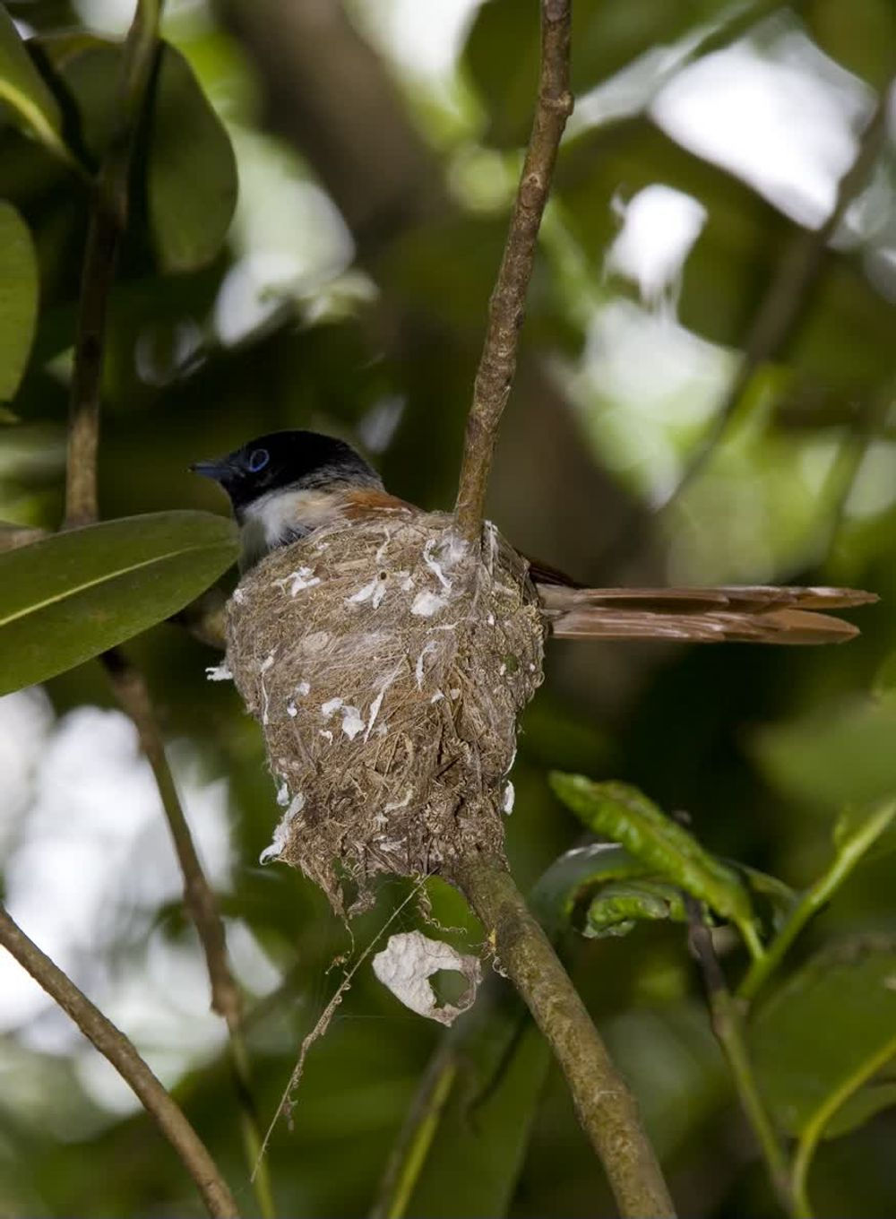 title: Amazing Female Paradise Flycatcher Seychelles