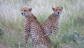 title: Amazing leopards in Central Kalahari Game Reserve