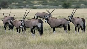Antelopes heading to the same direction Central Kalahari Game Reserve Botswana