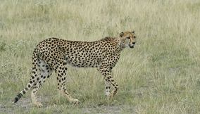 Beautiful leopard in Central Kalahari Game Reserve Botswana