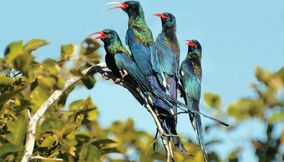 Beautiful multi colored birds Gaborone Southern Botswana