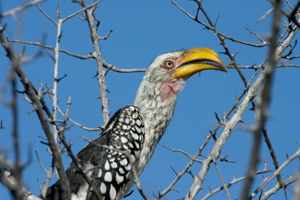 Bird with yellow beak Northern Tuli Game Reserve Botswana