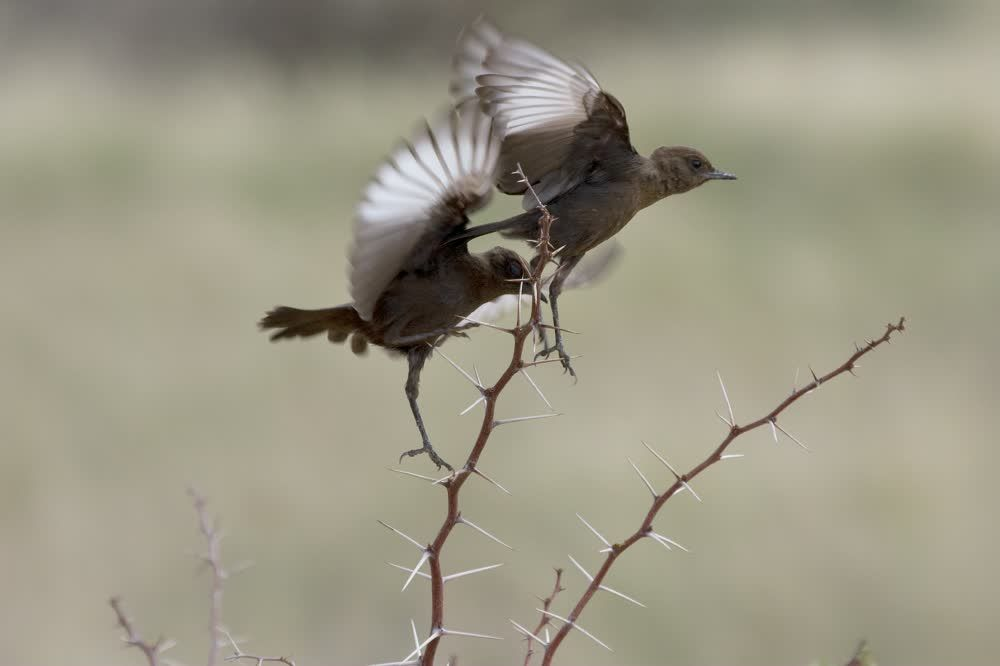 title: Birds with vibrating wings on thorns Kgalagadi Transfrontier Park Botswana