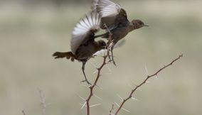 Birds with vibrating wings on thorns Kgalagadi Transfrontier Park Botswana