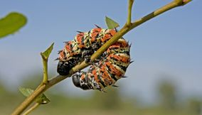 title: Charming caterpillar Northern Tuli Game Reserve Botswana