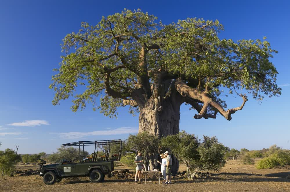 Coffee under a giant tree in Northern Tuli Game Reserve Botswana