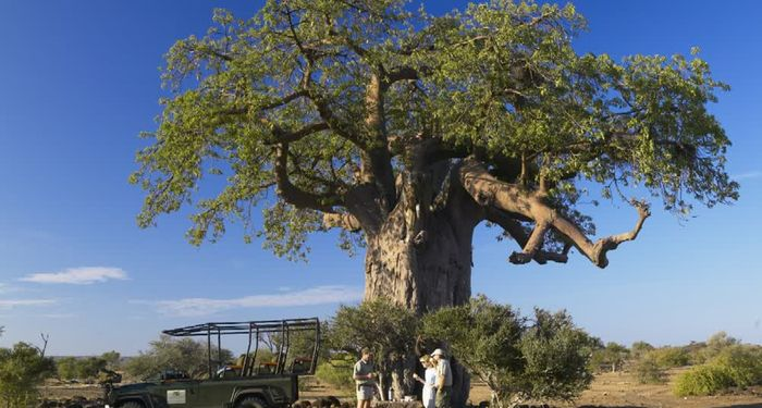 title: Coffee under a giant tree in Northern Tuli Game Reserve Botswana