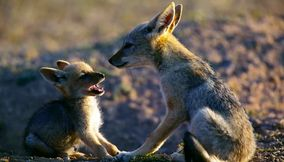 Cute fox cub with its mother in Northern Tuli Game Reserve Botswana