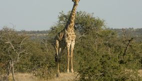 title: Cute giraffe Northern Tuli Game Reserve Botswana