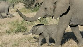 Cute little elephant protected by his mom in Northern Tuli Game Reserve Botswana
