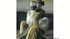 Cute monkey at Chobe National Park Linyanti Savute Botswana