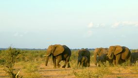 title: Elephants in Northern Tuli Game Reserve Botswana