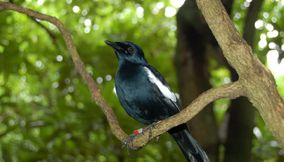 Endemic Magpie Robin Seychelles