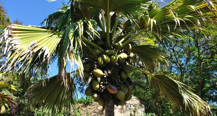 title: Female Coco De Mer Tree close up Seychelles