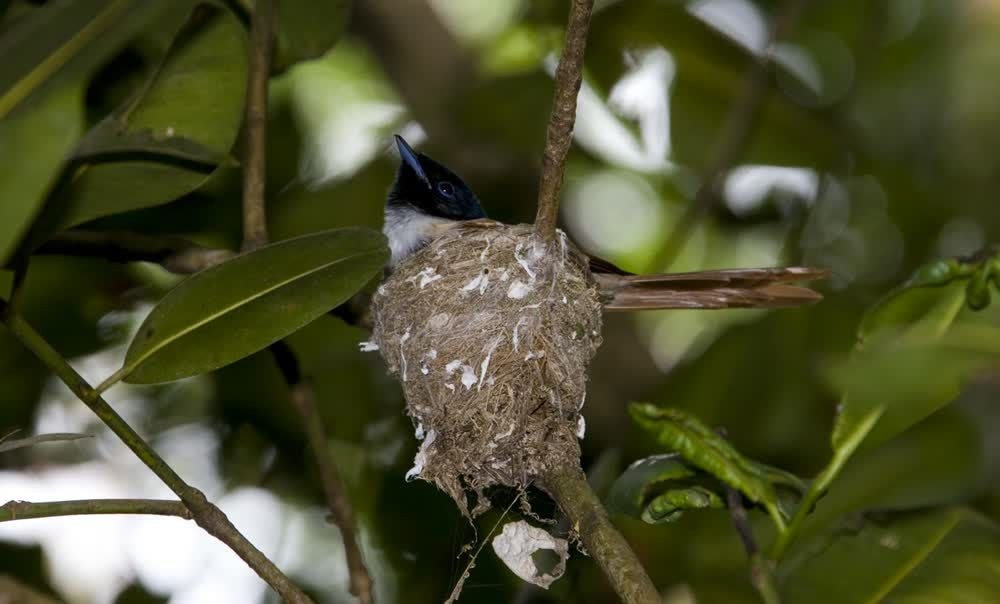 title: Female Paradise Flycatcher Seychelles