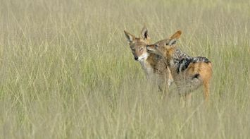 Foxes in the wild in Central Kalahari Game Reserve Botswana