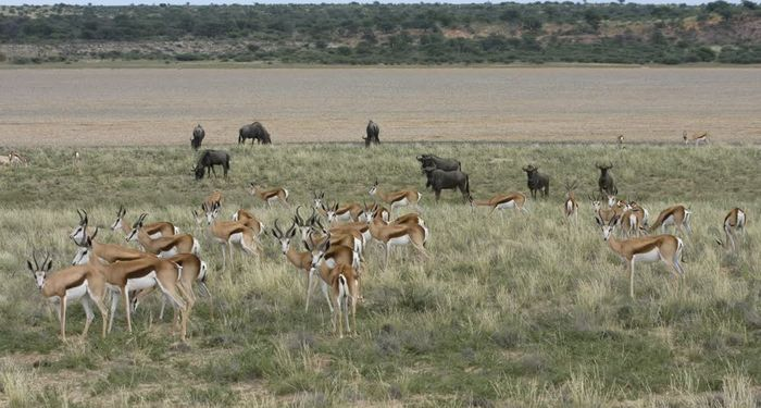 title: Gazelles and buffaloes in one frame Kgalagadi Transfrontier Park Botswana