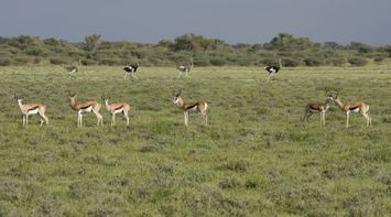 title: Gazelles and ostriches Kgalagadi Transfrontier Park Botswana