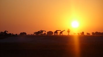 title: Giraffes at sunset in Central Kalahari Game Reserve