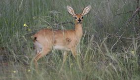 Graceful and charming gazelle Kgalagadi Transfrontier Park Botswana