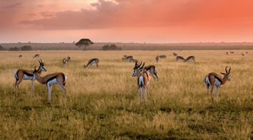 title: Herd of Antelopes in Central Kalahari Game Reserve