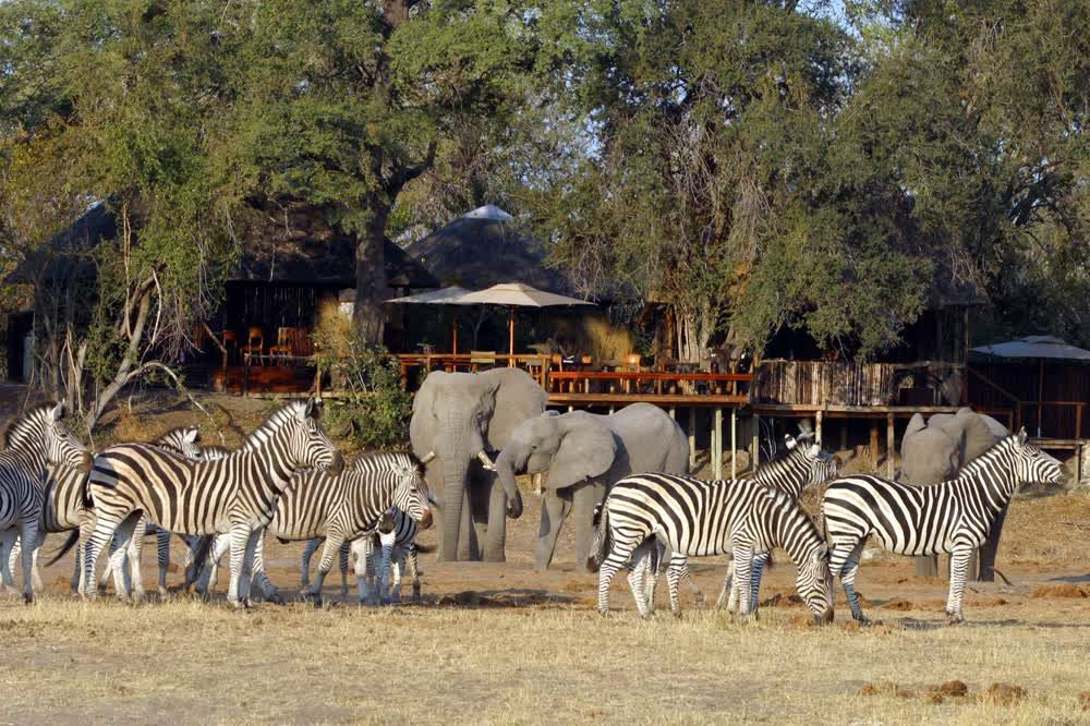 title: Herd of Zebras at Chobe National Park Linyanti Savute