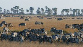 Herd of Zebras at Magkadigkadi Pans Nxai Pan National Park