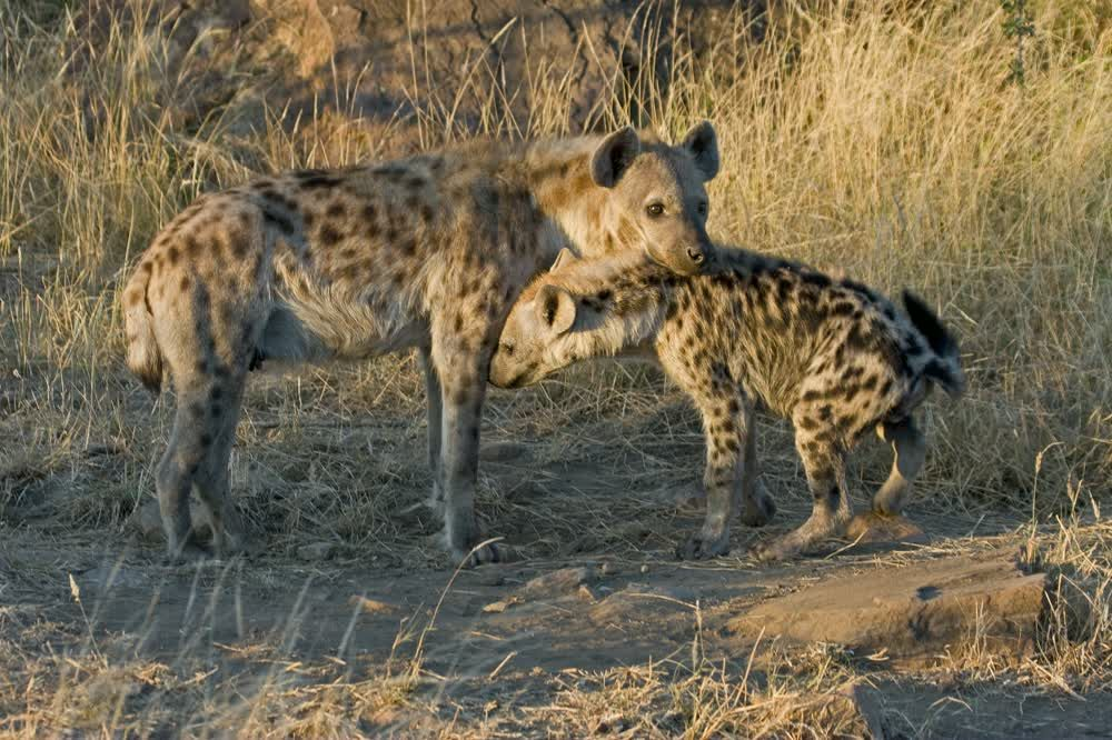 title: Hyenas with a curious look Northern Tuli Game Reserve Botswana