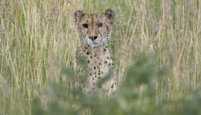 Leopard coming out of the grass in Central Kalahari Game Reserve Botswana