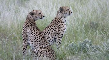 Leopards amid the grass in Central Kalahari Game Reserve Botswana