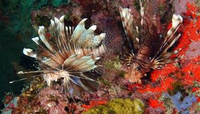 Lion fish Underwater Seychelles