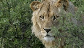 Lion focusing on the prey Central Kalahari Game Reserve Botswana