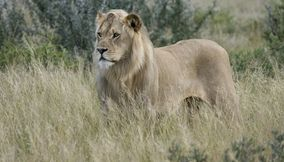 Lion in the savanna in Central Kalahari Game Reserve